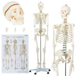 stradeXL Model ludzkiego szkieletu z plakatem, 181 cm